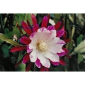 Epiphyllum Clown