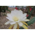 Epiphyllum Calisto Girl