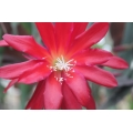 Epiphyllum Draculas Boy Friend
