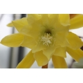 Epiphyllum The Yellow Difference