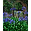 Agapanthus Hole Parck Blue   (new)