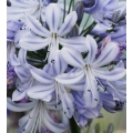 Agapanthus Summer Days (new)