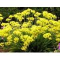 Allium 'Moly'