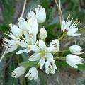 Allium nepolitanum