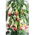 Brugmansia cordata 'Orange""