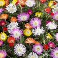 5 differerent Delosperma Jewel hybrids