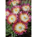 Delosperma Jewel 'Ruby'