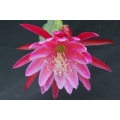Epiphyllum hybrids: named after tennisplayers