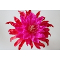 Epiphyllum June and July offers