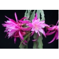 Epiphyllum Marten and Oopjen