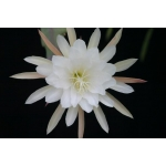 Epiphyllum package 3: 5 different white ones our choice