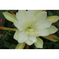 Epiphyllum Queen of Royals