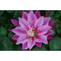 Epiphyllum The Goody Bag