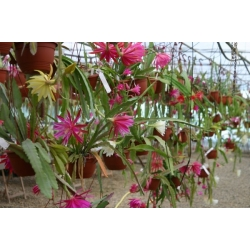 Epiphyllum hybrids package 1: 5 different ones our choice
