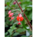 Fuchsia Mrs. Lee Belton