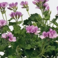 geurende pelargoniums