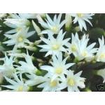 Hatiora Leo + Dreamland, large flowering plants.