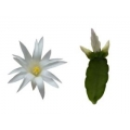 Sirius -flowering plant in 9cm container-