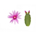 Thor-Erica    -flowering plant in 9cm container-