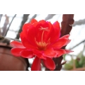 Epiphyllum Prince August of Hesse