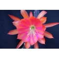 Epiphyllum Princess Pauline of Hesse