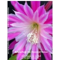 Epiphyllum: the House of Hesse