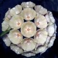 Hoya campanulata-plant-