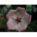 Hoya platella