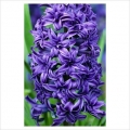Hyacinth Crystal Palace