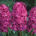 Hyacinth Red Diamond