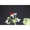 Pelargonium Islington Peppermint