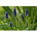 Muscari Superstar