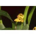 Maxillaria variabilis in 5cm container
