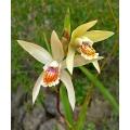Winterharde orchideeën