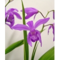 Bletilla striata purple