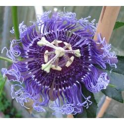 Passiflora Elisabeth