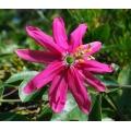 Passiflora exoniensis