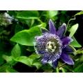 Passiflora macrocarpa