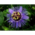Passiflora Purple Haze