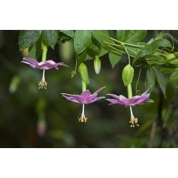 Passiflora tarminiana alba