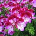 Pelargonium Angeleyes  Tip Top Duet