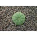 Euphorbia obesa 7cm container
