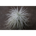 Tillandsia tectorum 5cm diameter