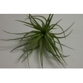 Tillandsia stricta grey