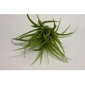 Tillandsia stricta green