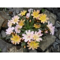 Lewisia Little Peach