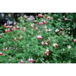 Salvia Lipstick