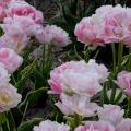 Tulip Annelinde