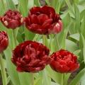 Tulip Antracite