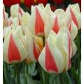Tulip Diablo